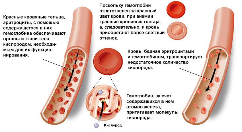 Какую роль играет гемоглобин